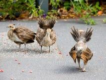 显示孔雀实践的小鸡 免版税图库摄影
