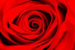 一朵红色玫瑰的宏观图象 免版税库存图片