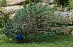 显示它的全身羽毛的美丽的孔雀 免版税图库摄影