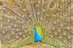 显示它的孔雀是羽毛 库存照片