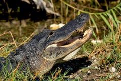 显示它的牙的鳄鱼,它爬行在土地上在佛罗里达 免版税库存照片