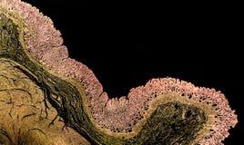 显示幽门的黏膜的一个正常胃的横断面 图库摄影