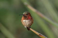 显示彩虹色的被栖息的蜂鸟 库存图片