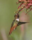 显示彩虹色的被栖息的蜂鸟 免版税库存照片