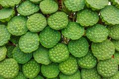 显示待售自然新鲜的莲花果子在柬埔寨 库存图片