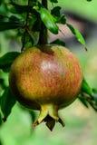 显示微笑的妇女的果子石榴 图库摄影