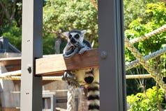显示怀疑的环纹尾的狐猴学士在一个晴天 库存图片