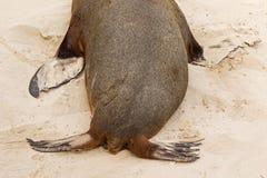 显示澳大利亚的海狮,尾巴,后部和先前f 图库摄影