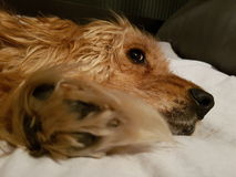 显示爪子的狗 免版税库存照片