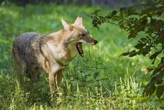 显示牙的土狼 免版税库存照片