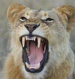 显示牙的雌狮 免版税库存照片