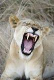 显示牙的雌狮 图库摄影