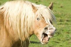 显示牙的马 免版税库存照片