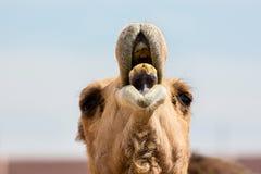 显示牙的骆驼 免版税库存图片