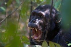 显示牙的黑猩猩 免版税库存照片