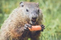 显示牙的滑稽的面对的年轻Groundhog 库存照片