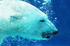 显示牙水中的北极熊 图库摄影
