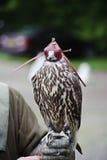 显示猎鹰戴头巾猎鹰训练术的gyr 图库摄影