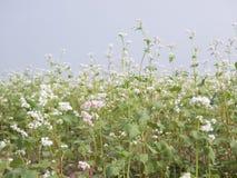 显示白色荞麦的荞麦领域美好的风景在绽放开花 免版税图库摄影