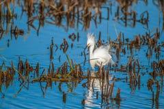 显示的白鹭养殖全身羽毛 渥太华全国野生生物保护区 o ?? 图库摄影