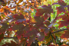 显示秋天颜色的美丽的槭树叶子 免版税库存照片