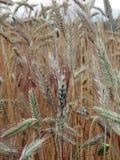显示种子的含麦芽的大麦领域特写镜头朝向准备好收获 免版税图库摄影