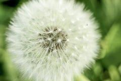 显示种子的蒲公英特写镜头在softfocus 免版税库存照片