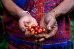 显示红色咖啡豆的咖啡农夫在收获期间 库存图片