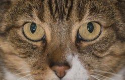 显示细节的黄色猫眼 库存照片
