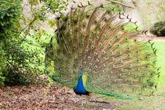 显示羽毛孔雀尾标 免版税图库摄影