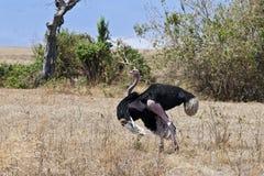 显示联接的仪式的公驼鸟 库存照片