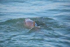 显示背鳍的共同的宽吻海豚 免版税图库摄影