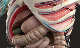 显示腹部和消化系统的特写镜头人的解剖学 免版税库存图片