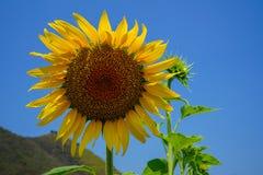 显示自然花粉样式和有风五颜六色的软的瓣有绿色叶子的特写镜头明亮的美丽的黄色向日葵,山 库存照片