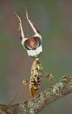 显示螳螂威胁 免版税库存照片
