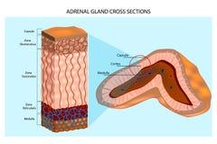 显示表皮层数和骨髓的肾上腺的内部结构 库存例证