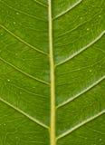 显示角度的一片绿色叶子的静脉 免版税库存照片