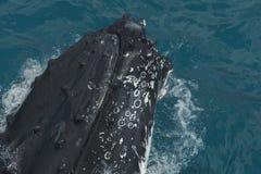 显示那里技能的驼背鲸对游人在鲸鱼观看的旅行期间在赫维海湾,昆士兰 澳洲 免版税图库摄影