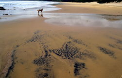 显示钛的海滩是在距离的沙子狗 库存图片