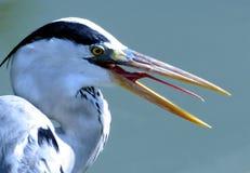 显示长的红色舌头的鸟开放嘴 图库摄影