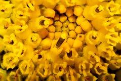 显示雄芯花蕊的向日葵宏观特写镜头 免版税库存图片