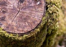 显示青苔和镇压在一个击倒的树桩的细节照片 库存图片
