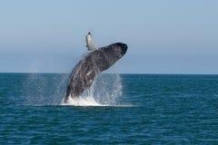 显示鲸鱼 免版税库存图片