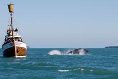 显示鲸鱼 免版税库存照片