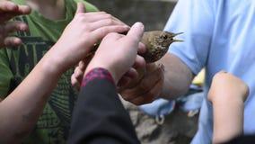 显示鸟的鸟类学家人对孩子递特写镜头 股票视频