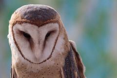 显示他的蓝色有斑点的头的谷仓猫头鹰 免版税图库摄影