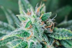 显示trichomes和橙色头发叶子的一朵未装饰的医疗大麻花的美丽的宏观照片 免版税库存照片
