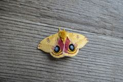 显露它的眼睛标号的Io飞蛾自动部分io美国飞蛾惊吓掠食性动物 免版税库存照片