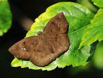 晒日光浴一只棕色的蝴蝶 免版税图库摄影