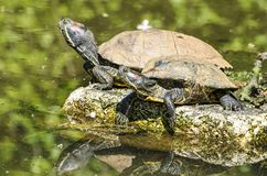 晒日光浴两只的乌龟 免版税库存照片